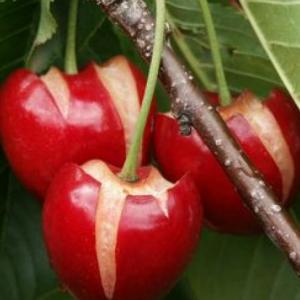 Il maltempo dà il colpo di grazia alle ciliegie